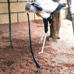 The secretary bird (Sagittarius serpentarius) is found in open, grassy country over much of Africa south of the Sahara. It stands around 3 feet high. It feeds on locusts, scorpions, rodents, snakes etc. This bird has been fed a dead boomslang. Zoological Garden, 1968.