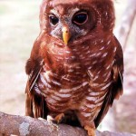 The African wood owl (Strix woodfordii) is found in woodland over much of Africa south of the sahel. Several subspecies have been described. The bird pictured here originated in the Ibadan area, Nigeria. 1964.