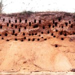 2. Showing some nesting holes of the northern carmine bee-eaters. Foge Island, River Niger, May 1968.