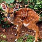 Four day old bushbuck (Tragelaphus scriptus). Zoological Garden, University of Ibadan, February 1965.
