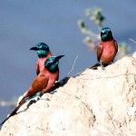 5. Northern carmine bee-eaters (Merops nubicus). Photo by Dr Hilary Fry - my thanks to him for agreeing to my use of it here. THIS IS THE END OF THE BEE-EATER SEQUENCE AND ALSO THE BIRDS PHOTO GALLERY