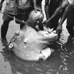 During a trip to Mamfe the following year I found that a hippo had been shot and killed in the Cross River and its meat was being cut up and distributed to a large crowd of people. April 1966.