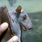 Young male hammer-headed fruit bat (Hypsignathus monstrosus). Ibadan, June 1965.