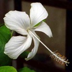 This is the white-flowered hibiscus from the garden of the University of Ibadan staff school, Nigeria. I explain its significance on the previous introductory page. With the petals extended (gently flattened), this flower is approx. 10cm/4in across. Photo 2012