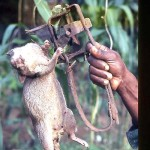 While walking on farmland north of Ibadan I nearly stepped on this trap. Fortunately for me the pouched rat (Cricetomys gambianus) had got there first or my foot might have been badly injured by the metal spikes that must have killed the rat instantly. The meat of this rat is eaten. May 1970.