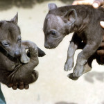 One month old spotted hyaenas (Crocuta crocuta). February 1967. Born at the Zoological Garden, University of Ibadan.