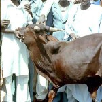 This three-legged bull is missing its left front leg, presumably from birth, but seemed to be the object of some affection from the local people. Kano area, June 1968.
