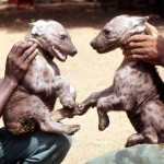 Two month old spotted hyaenas (Crocuta crocuta). March 1967. Born at the Zoological Garden, University of Ibadan.