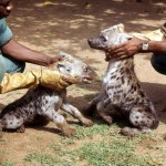 Three month old spotted hyaenas (Crocuta crocuta). April 1967. Born at the Zoological Garden, University of Ibadan.