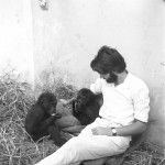 The zoo staff soon selected names for the two young gorillas. The male (left above) was named 'Aruna' and the female 'Imade' (pronounced 'Ee-ma-deh'). We estimated that Aruna was around 2.5 years old and Imade around 1.5 years. Late December 1964.