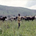 An Aku boy tending his cattle. Wum area, Cameroon, April 1966.