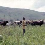 An Aku boy tending his cattle. Wum area, Cameroon, April 1966.
