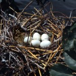 4. We managed to get close enough to this nest to feel the eggs but they were cold and our impression was that many nests, involving several species, had already been abandoned by the adult birds in response to the rising waters. October 1968. END OF SEQUENCE