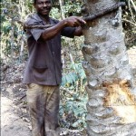 3. The palm wine tapper has fastened the hoop around the palm trunk and is about to climb up to the base of the fronds to collect the fresh sap/palm wine from the vessel he positioned there earlier.