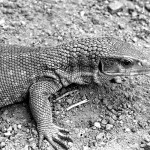 Savannah or Bosc's monitor (Varanus exanthematicus). This monitor is found over much of northern Nigeria and grows to a length of three to four feet. It feeds on a variety of invertebrates such as locusts, scorpions and millipedes. Its powerful limbs and sharp claws enable this monitor to dig very effectively. The precise area of origin of this specimen was unknown. April 1964.