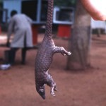 White bellied pangolin (Manis tricuspis). Ibadan, May 1964.