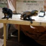 Young spot-nosed guenon (Cercopithecus nictitans) and mona monkey (Cercopithecus mona).