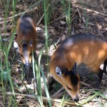 Pair of red-flanked duiker (Cephalophus rufilatus). Zoological Garden, University of Ibadan, December 1966.