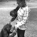 A zoo visitor is allowed to help feed the gorillas and young chimpanzee. 1967.