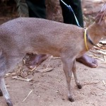 This young female crowned duiker (Sylvicapra grimmia) was brought to the Zoo for sale. It had been raised by its owner from an early age and was completely tame. Area of origin unclear. March 1972.