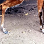 Feet of sitatunga (Tragelaphus spekei) showing how well this animal is adapted to living in swamps. Note the wound on the back leg, indicating it was either caught in a wire snare or perhaps tethered. Area of origin unknown. December 1966.