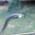 Showing boomslang (Dispholidus typus) inflating the throat when threatened. Bafut area of Cameroon, May 1966.