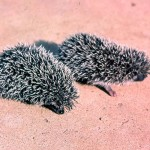 West African or four-toed hedgehogs (Erinaceus albiventris). Zaria, northern Nigeria, March 1964.