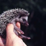 West African or four-toed hedgehog (Erinaceus albiventris). Zaria, northern Nigeria, March 1964.