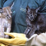 These young caracals (Felis caracal) were brought to the Zoological Garden for sale. They were almost certainly siblings and one was black/melanic. They had come from an area north of Ibadan, but it was impossible to obtain hard information. These animals subsequently did well in the Zoo.
