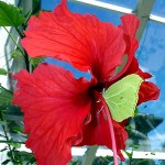 This brimstone butterfly (Gonepteryx rhamni) flew in through a conservatory window. It alighted on the hibiscus flower and made its way slowly toward the nectar source. This plant is 35 years old (in 2014). Photo by Charles Kinsey, 2013