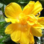 Double yellow, from Zimbabwe. Photo 2014.