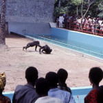 he gorillas and chimpanzees were released into their respective outside enclosures for the first time in March 1970. Again, you may wish to read/download the article decribing events during those first few days by going back to the University of Ibadan Zoo introductory page, clicking on 'Zoo Publications by Bob Golding', then on 'A Gorilla and Chimpanzee Exhibit.'