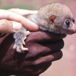 Young Bosman's potto (Perodicticus potto), showing the structure of the hand. Area of origin unclear. May 1964.
