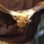 Fruit bat (Epomophorus sp.). Probably the Gambian fruit bat (E. gambianus). Ibadan area, 1963.