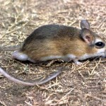 Dr David Happold, ex Zoology Department, University of Ibadan, who wrote the definitive book 'The Mammals of Nigeria' in 1987, has kindly identified this animal as the slender tateril (Taterillus gracilis). It would have come from the savanna areas north of Ibadan but I have no detailed information.