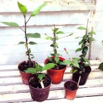 More plants from last year's cuttings, some producing flower buds. Photo July 2014.