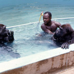 Augustine Udoh was one of the three ape keepers and here he joins the gorillas in the moat. The moat water was filtered, chlorinated and circulated to maintain hygiene. 1970.