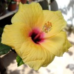 This hibiscus, with its rather small flower about 9cm/3.5in across, was taken as a cutting (with the eventual, reluctant permission of the owner) from a plant growing in Piazza Lauro, Sorrento, Italy. The man said it was 'molto ridicolo' to think you could make new plants from a few bits of stem. Photo July 2014.