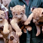 Apart from the unfortunate death of Moshi, our lions did very well at the Zological Garden; they produced a number of litters of cubs which were sent to other zoos in Nigeria and abroad. The new lion exhibit helped to attract more visitors. By 1979 the Zoo was receiving nearly a quarter of a million paying visitors each year, more than any other public attraction of any kind in Nigeria. 1970.