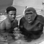 Michael Iyoha was the senior ape keeper. This photo was published in the London Daily Telegraph newspaper. 1970.