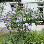 This and the following two photos are of Hibiscus syriacus. This hardy, deciduous hibiscus is available in several different flower colour forms. The plant in these photos grows in a sunny position in our garden in Bristol and produces a profusion of flowers in late summer. Photo August 2014.