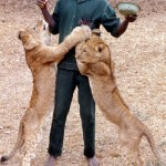 The keeper, Nicholas Eze, with some older cubs bred at the Zoological Garden. 1971.
