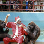 At Christmas 1970 I was Father Christmas for the children of the staff living on the campus of the University of Ibadan. After I finished delivering Christmas gifts on Christmas morning, I decided to visit the gorillas. At first they didn't recognise me and were quite aggressive towards me. It was only after I spoke that they realised who I was and allowed me to enter their enclosure. 1970.