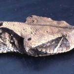 Gaboon viper (Bitis gabonica). Ibadan area, April 1965.