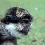 Dr Thomas Butynski, Director of the King Khalid Wildlife Research Center, Riyadh, Saudi Arabia, has kindly identified this monkey as the Nigerian white-throated guenon (Cercopithecus erythrogaster pococki), found in the forests of southwestern Nigeria. This captured specimen was photographed in Ibadan, 1967.