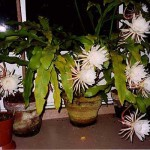 This cactus is commonly known as queen of the night. However, the literature on the several species of cactus known by this name is confusing - this may be a species of Epiphyllum or Selenicereus, for example; it may well be a hybrid. Any information or comments would be welcomed - see 'contact' button above. Photo 2012. SEE ALSO NEXT PHOTOGRAPH....