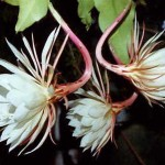 This plant flowers once or twice each summer, with several flowers at each blooming over 2 or 3 nights. The flowers open as darkness falls; they have an extremely sweet, powerful scent. Before dawn they wilt and droop, presumably (in wild-growing plants) after pollination has occurred. My plants have never set seed. The above specimen is over 40 years old (in 2014) and has been reduced in size several times. Photo 2012.