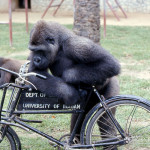 Aruna spent much time with this bicycle whenever he could (only when keepers were present), and it has to be said gave a strong impression that he was trying to work out how to ride it as he had seen his keepers do. 1971