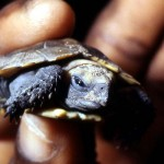 Newly hatched forest hinged tortoise (Kinixys homeana). Southern Nigeria, 3 May 1967.