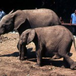 Having observed East African elephants in zoos in Europe and the USA, I noted two observable differences between the East and West African animals. 1. the Nigerian elephants tend to hold the head lower, and 2. the innermost nail of the front feet of the Nigerian animals is of equal size to the other front nails, whereas in the East African elephants the first front nail is smaller than the others. December 1964.